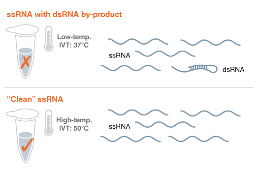 RNA Polymerase for low immunogenicity